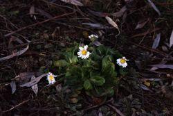 Gänseblümchen trotz dem Winter